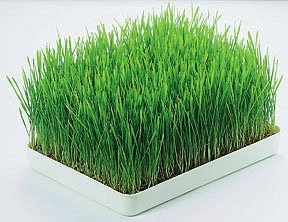 Wheatgrass in it's original state